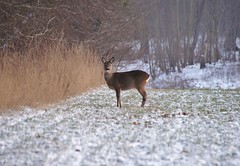 Deer (osto) Tags: denmark europa europe sony january zealand dslr scandinavia danmark a300 sjlland  2013 osto alpha300 osto