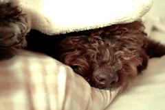 El tiempo de las cerezas. (Lucia Cortés Tarragó) Tags: dog brown home bed funny sweet sleep pastel mallorca lvm