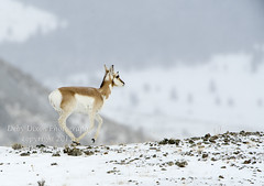 Pronghorn fawn on the run (Deby Dixon) Tags: winter tourism nature photography nationalpark travels wildlife fawn yellowstonenationalpark yellowstone wyoming pronghorn debydixonphotography