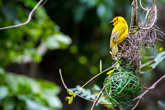 Animal Kingdom - Golden Weaver