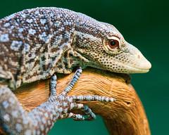 _MG_5084 (Mary Susan Smith) Tags: vacation texture holidays dof reptile lizard superhero sandiegozoo bigmomma gamewinner 3waychallengewinner thechallengefactory tcfwinner gamex2winner herowinner ultraherowinner storybookwinner pregamewinner storybookttwwinner bbqatgrandmas gamex3sweepwinner