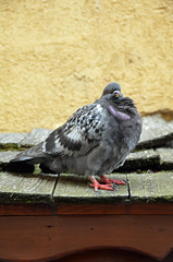 Le pigeon (Agnès Laure) Tags: france bird annecy animal pigeon wildlife patsy oiseau faune nikond7000
