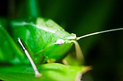{unidentified} grasshopper (Rushen!) Tags: grasshopper kurdish rushen d90 nikon asian southeastasia asia thailand thai tamron 60mm macro makro closeup close up insects insect bug bugs green khao yai pak chong khaoyai pakchong national park