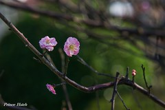 - Plum Blossoms - Taichung City municipal Shuang-Shih Junior High School (prince470701) Tags: taiwan plumblossoms  taichungcity sigma70300mmmacro  sonya850  taichungcitymunicipalshuangshihjuniorhighschool