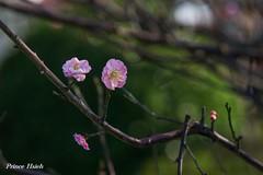 梅開雙十 - Plum Blossoms - Taichung City municipal Shuang-Shih Junior High School (prince470701) Tags: taiwan plumblossoms 台中市 taichungcity sigma70300mmmacro 寒梅 sonya850 台中市雙十國中 taichungcitymunicipalshuangshihjuniorhighschool