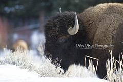 Bison bull (Deby Dixon) Tags: winter snow nature cows wildlife bull yellowstonenationalpark yellowstone wyoming bison calves debydixonphotography