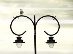 VIGÍA MARINO (Sigurd66) Tags: españa spain farola seagull asturias espagne gaviota asturies cantabrico costaverde tazones principadodeasturias costacantabrica principautredesasturies