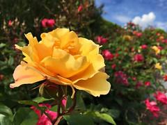 The queen (Arnzazu Vel) Tags: naturaleza flower nature rose garden flor jardin rosa natura yellowrose fiore