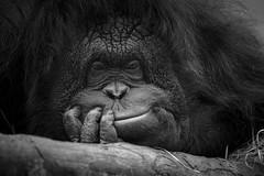 Primate.... mais tellement humain (Mathieu Calvet) Tags: pentax k3 da300 300 300mm beauval zoodebeauval orangoutan zoo centre loiretcher