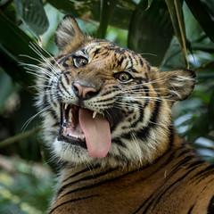 Suka being silly! (ToddLahman) Tags: suka sumatrantiger sandiegozoosafaripark safaripark canon7dmkii canon canon100400 escondido tigers tiger tigertrail tigercub teddy joanne