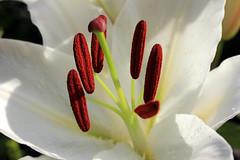 Weiße Lilie (02) (Rüdiger Stehn) Tags: 2016 2000s 2000er europa mitteleuropa deutschland germany norddeutschland schleswigholstein blumen blüte lilie weiselilie zierblumen lilienartige liliales liliengewächse liliaceae lilioideae lilien lilium canoneos550d