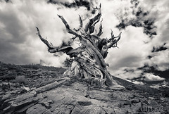 Ancient Memories and shorline blobs ( Pacheco) Tags: pacheco ancientforest bristlecone mizzypacheco methuselah