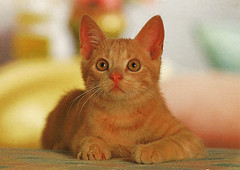 Cat (Steenvoorde Leen - 1.9 ml views) Tags: 1960 pussy puss cat kat poes katze chat minou mieze pussycat
