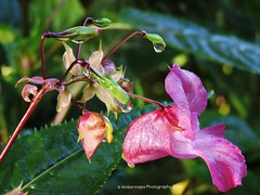 Morning Dew on a flower (Amberinsea Photography) Tags: flowers flower dew drops waterdrops morning morningsun forest amberinseaphotography sweden