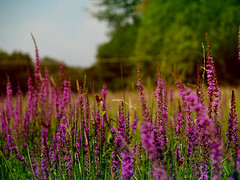 Fiori di campo (simonedanielis) Tags: fiore flower nature natura landscape paesaggio allaperto profondit prato calma caldo campagna olympus epl7