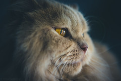 Ollis Eye (ChrisTalentfrei) Tags: cat katze portrait animal lion lwe closeup macro makro nahaufnahme fell fur meow kitty longhair british highlander sigma 2470 f28 ex dg sony a7 fullframe dof lightroom raw laea4 adapted amount emount