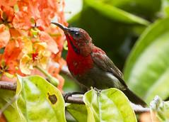 Crimson Sunbird (male) (christopheradler) Tags: malaysia crimson sunbird aethopyga siparaja