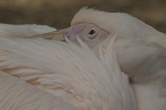 Pelikaan - Ouwehands (Jan de Neijs Photography) Tags: pelican pelikaan ouwehands ouwehandsdierenpark zoo dierentuin tamron tamron150600