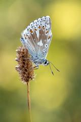 Silbergrne Bluling  Chalkhill Blue  Polyommatus coridon (Bluesfreak) Tags: insekten schmetterlinge tagfalter unterfranken silbergrnerbluling polyommatuscoridon chalkhillblue butterfly insects lepidoptera