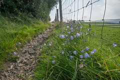 Harebells by the path (Blue Pelican) Tags: harebells footpath glossop derbyshire august