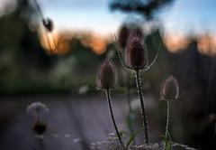 Piquante (Hexilene) Tags: sigma nikon nikonpassion nature nikond750 noir landscap passion proxy plante paysage p