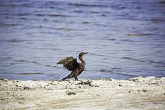 Double Crested Cormorant (surfneng) Tags: bird ca saltoncity saltonsea
