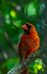 Rosetta Park- Northern Cardinal (vernonbone) Tags: rosetta park northern cardinal