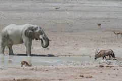 Namibia 2016 (315 of 486) (Joanne Goldby) Tags: africa africanelephant antidorcasmarsupialis august2016 elephant elephants etosha etoshanationalpark explore loxodonta namiblodgesafari namibia safari springbok antelope