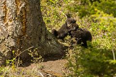 Cub-hug (ChicagoBob46) Tags: blackbear bear cub cubs coy cuboftheyear yellowstone yellowstonenationalpark nature wildlife