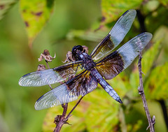 Widow Skimmer (shooter1229) Tags: heronpark wetlands dragonfly nature outdoors insect canon widowskimmer avian animal