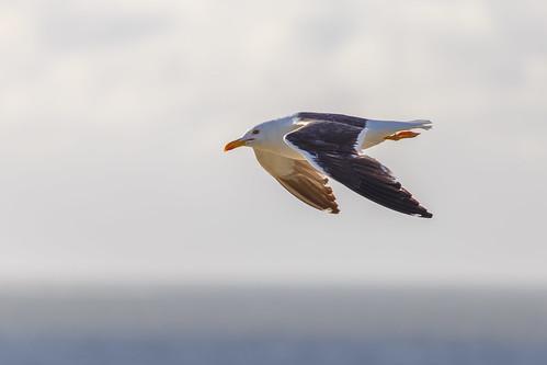 Herring gull @Amrum