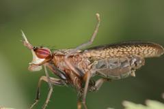 Limnia unguicornis (jean-danielechenard1) Tags: insecte limniaunguicornis sciomyzide diptre animal hexapoda limnia neoptera muscomorpha