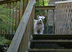 Angel at the top of the stairs (BKHagar *Kim*) Tags: bkhagar dog canine pup puppy angel white schnauzer terrier deck wooden wood gate