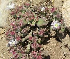 DSCN8472 (Robby's Sukkulentenseite) Tags: chile coquimbo crystallinum fnrrb2022 lacebada mesembryanthemaceae mesembryanthemum pflanze rb2022 reise sk0805s standort