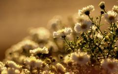 September Morn (ursulamller900) Tags: golden aster morning morgen september diaplan28100