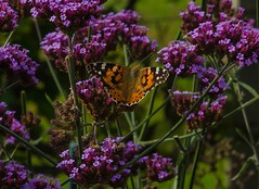Painted Lady (frankmh) Tags: insect butterfly paintedlady sofierocastlegarden helsingborg skne sweden outdoor animal