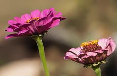 Sur la pointe des pieds (mrieffly) Tags: lapaire fleurs bokeh canoneos50d 100400issriel