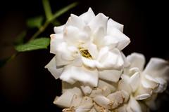 20160703-DSC_2663 (Vighnaraj Bhat) Tags: nikon d750 nikkor105mmf28gvr fullframe macro bokeh flower bokehlicious beyondbokeh white rose beautiful outdoor manual closeup depthoffield dof