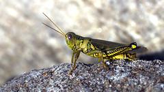 Grasshopper. (Joseph Skompski) Tags: columbiamd columbia maryland centennialpark naturetrail nature insects insect bugs bug grasshopper green macro mpt503 matchpointwinner