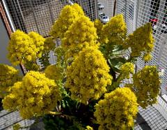 Primer da de primavera (mnovela2293) Tags: aeoniumarboreum canariascrassulafloracinprimaveral