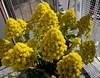 Primer día de primavera (mnovela2293) Tags: aeoniumarboreum canariascrassulafloraciónprimaveral