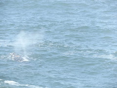 Thar she blows (jeffsmith565@yahoo) Tags: whale blowing water sprout depotbay oregon jeffsmith