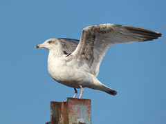 Herring Gull (Peanut1371) Tags: herringgull gull seagull wings nationalgeographicwildlife