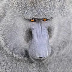 The Baboon (Kitty Kono) Tags: baboon kenya kittyrileykono yumikokono