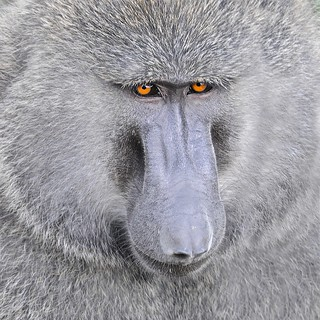 The Baboon