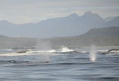Whales_Blow (rds3wave) Tags: animal columbia tofino british ucluelet nikond600 britishcolumbiavancouvertof