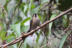 Speckled Hummingbird (Adelomyia melanogenys) (sussexbirder) Tags: hummingbirds adelomyia melanogenys hummingbirdspeckled