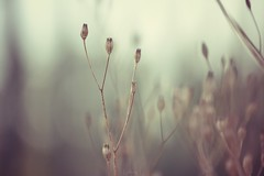 Echoes (Electra_star) Tags: autumn plant nature bokeh ethereal
