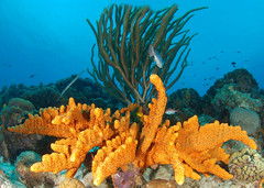 Sponge and soft corals (gillybooze (David)) Tags: sea coral underwater caribbean reef bonaire sponges fisheyelens thegalaxy ©allrightsreserved madaleundewaterimages