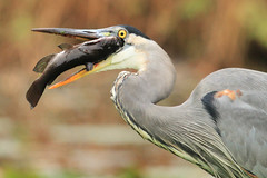 Now That's A Mouthful! (shelshots) Tags: fish bird heron nature meal prey survival greatblueheron mouthful gbh hennysanimals